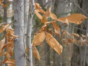 American beech in winter. Note lingering leaves. Photo by Drew Monkman