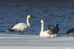 Possible Tundra Swans on Otonabee R. - Dec. 14, 2016 - Gwen Forsyth