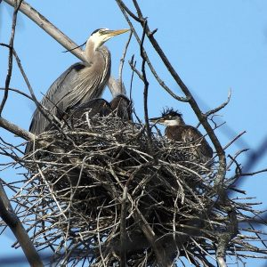21d913e22e487 Great Blue Herons nesting again at rookery at Trent University