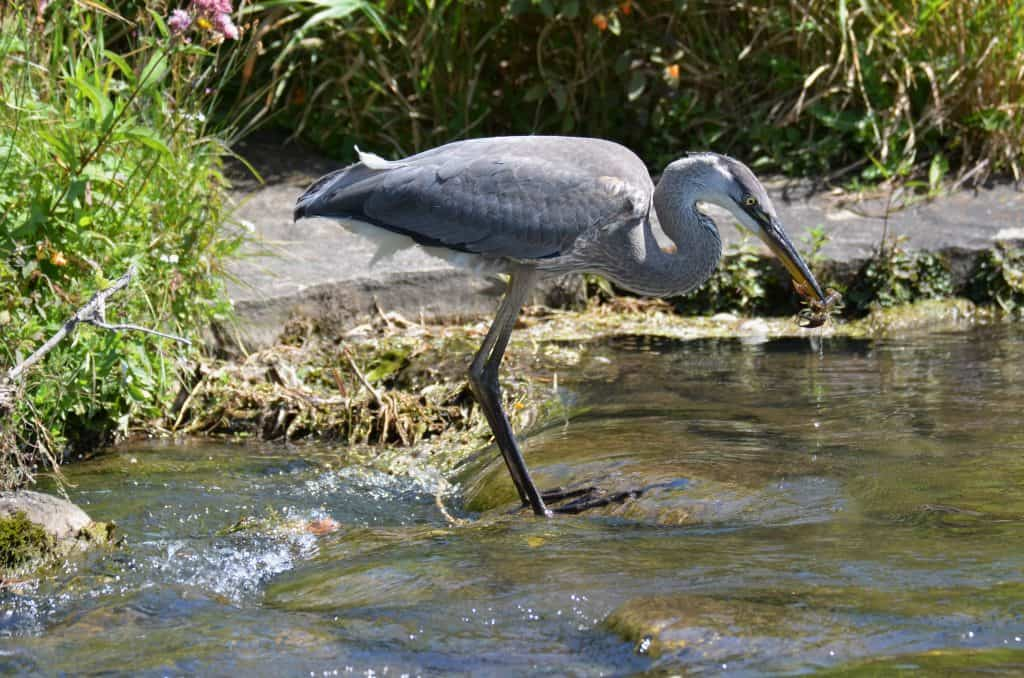 07ba8ebba1863 Great Blue Heron – Our Changing Seasons