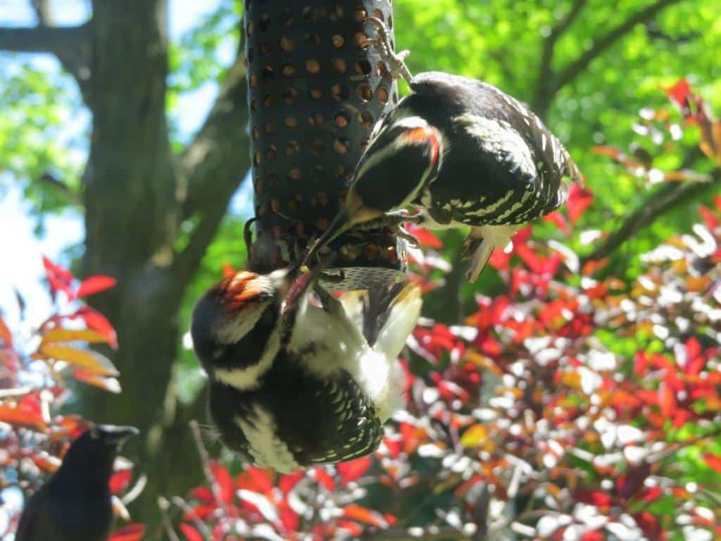 Coloration in juvenile Hairy Woodpecker